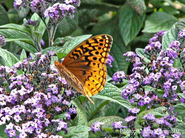 Butterfly on Agaratum