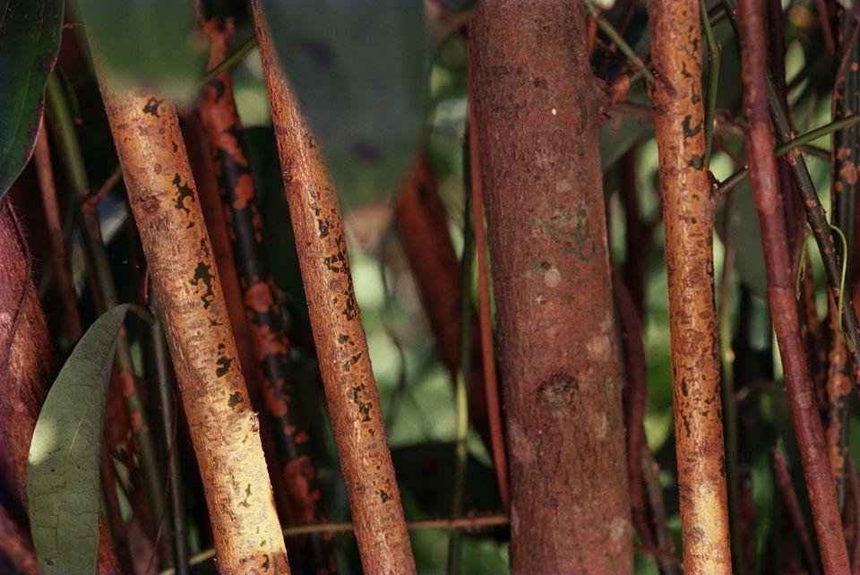 Cinnamon Trees