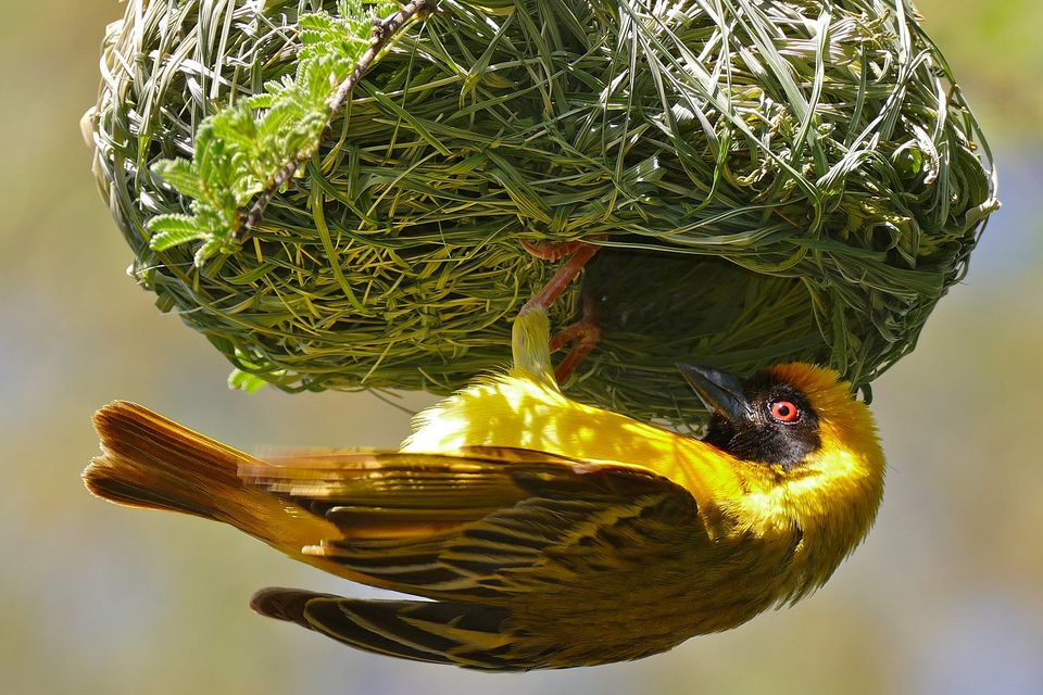 Yellow bird clinging to bright green nest
