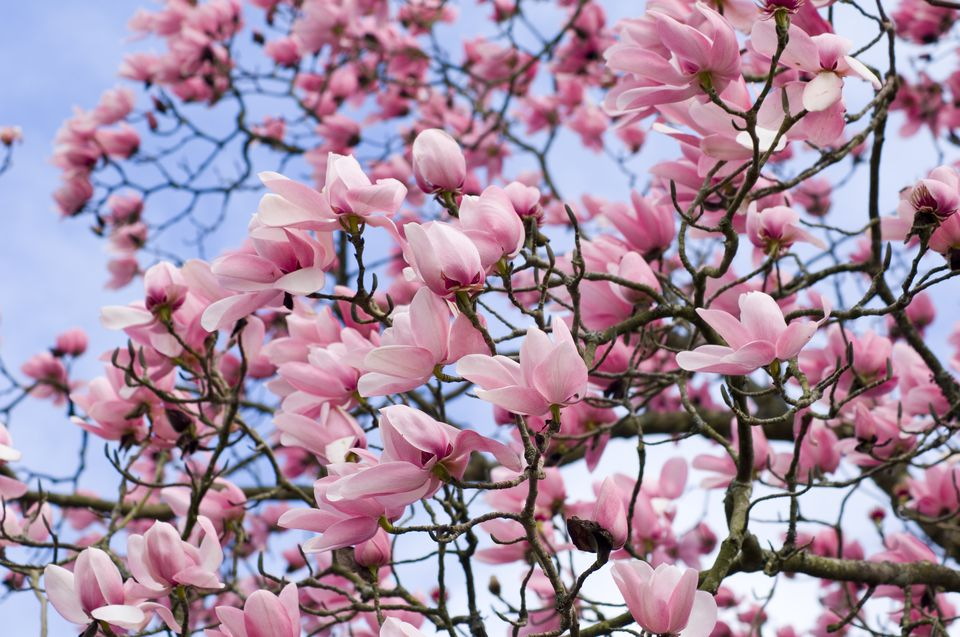 Campbell's magnolia tree (Magnolia campbellii) in bloom.