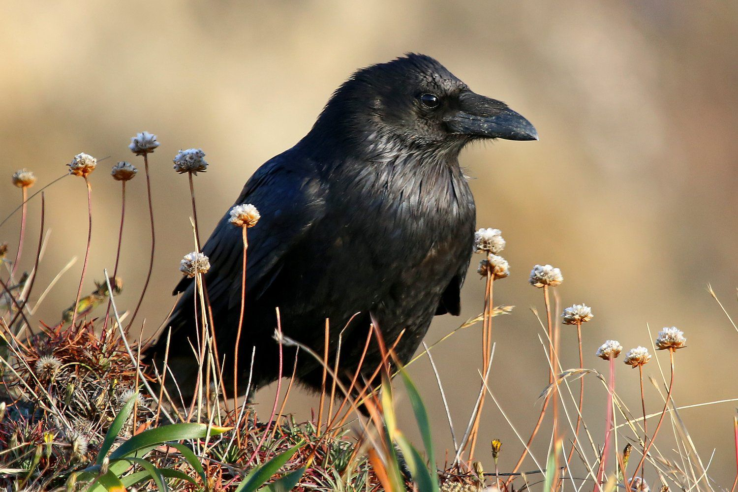 Raven Or Crow Learn To Identify Both