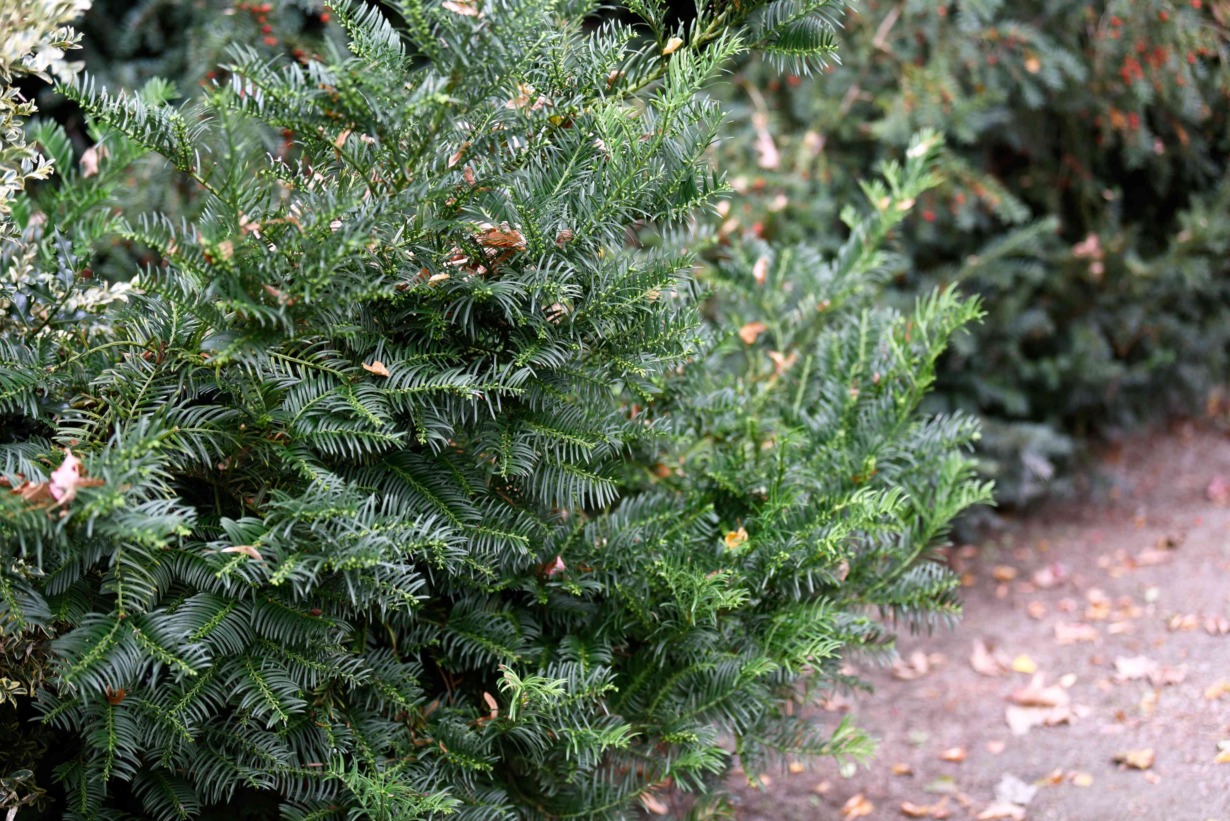 Japanese plum yew shrub with needled leaves on branches covered with brown fallen leaves