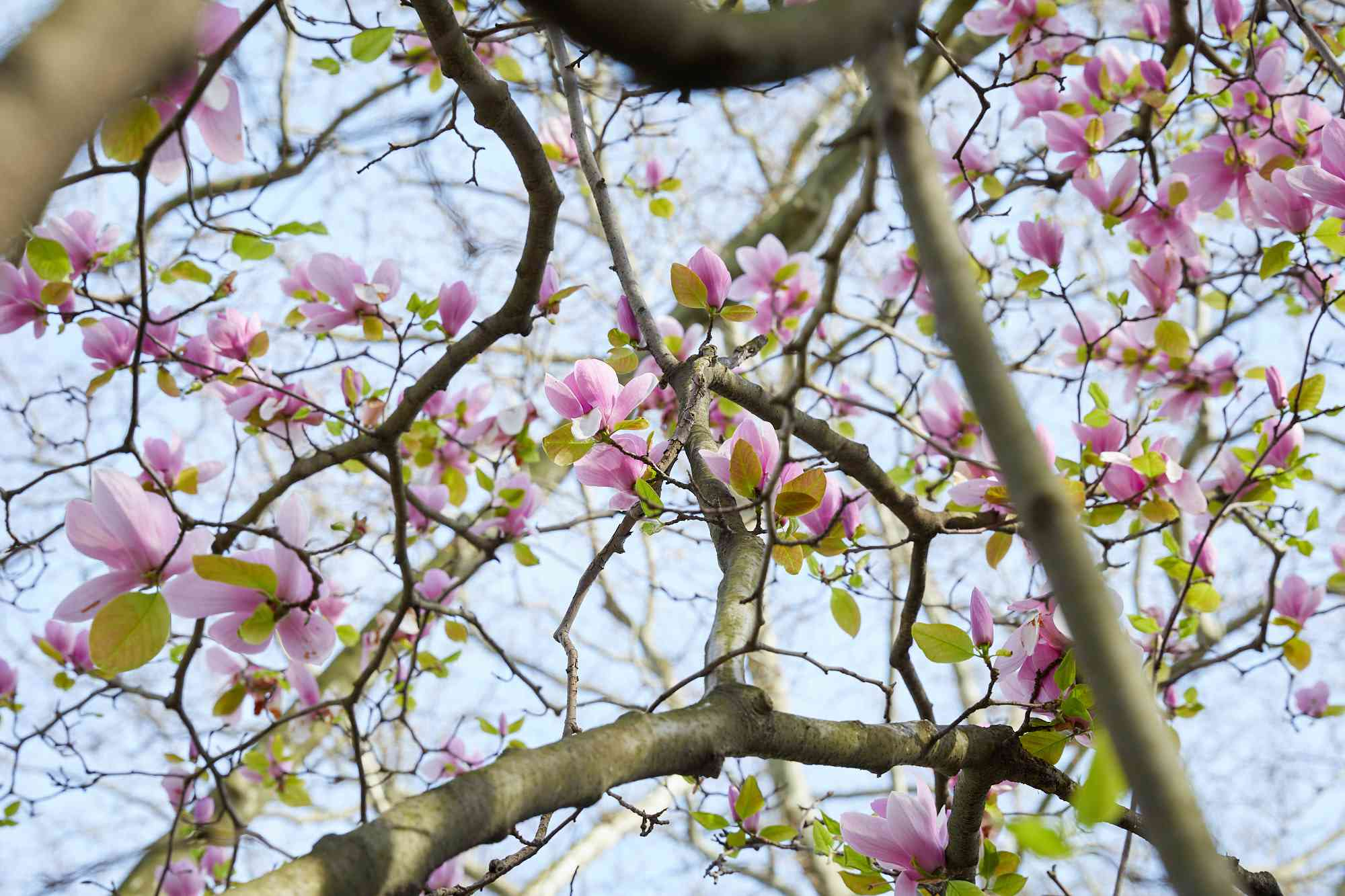 saucer magnolia tree from below