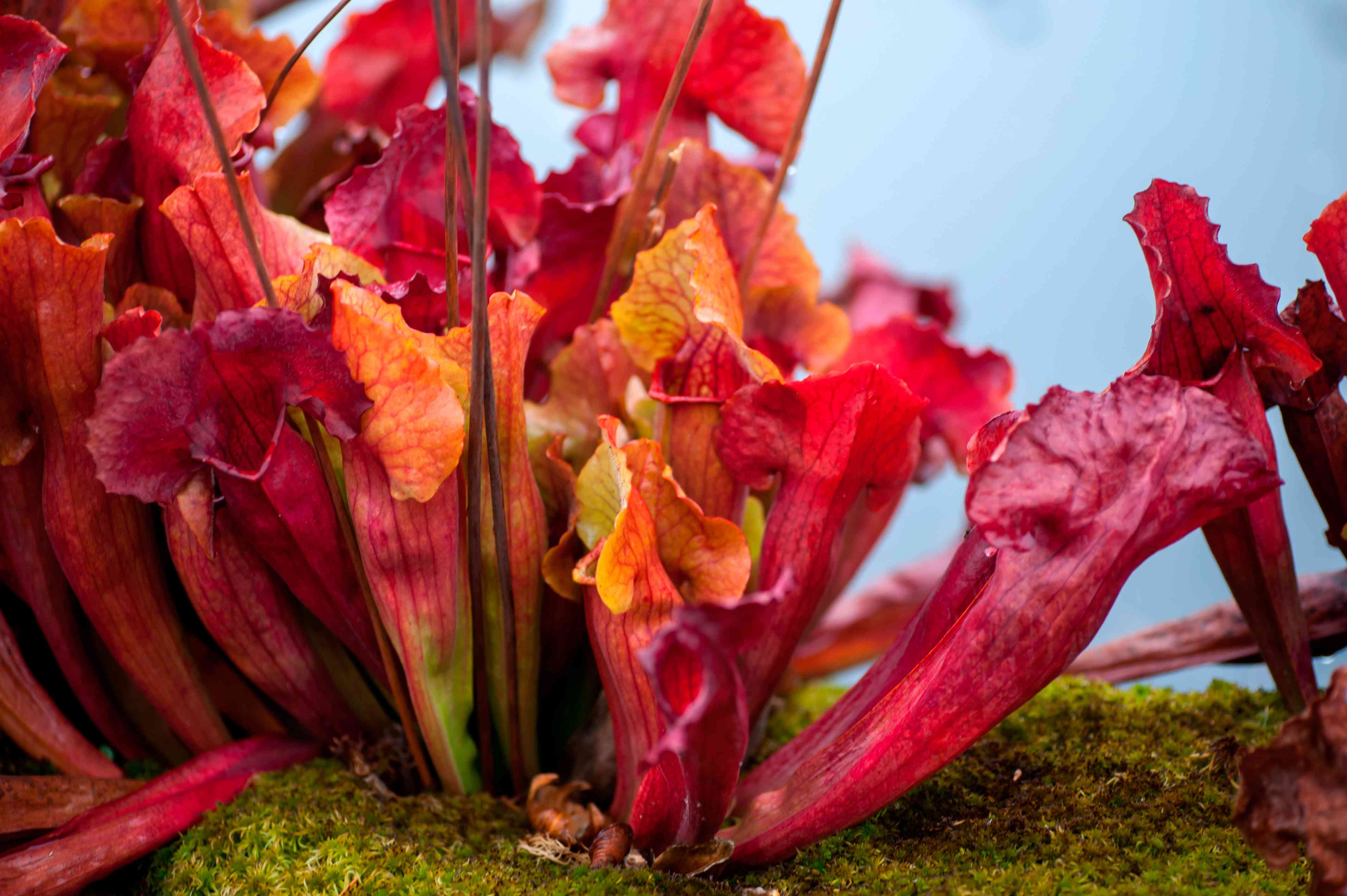 Purple pitcher plant with red and orange container-like leaves closeup