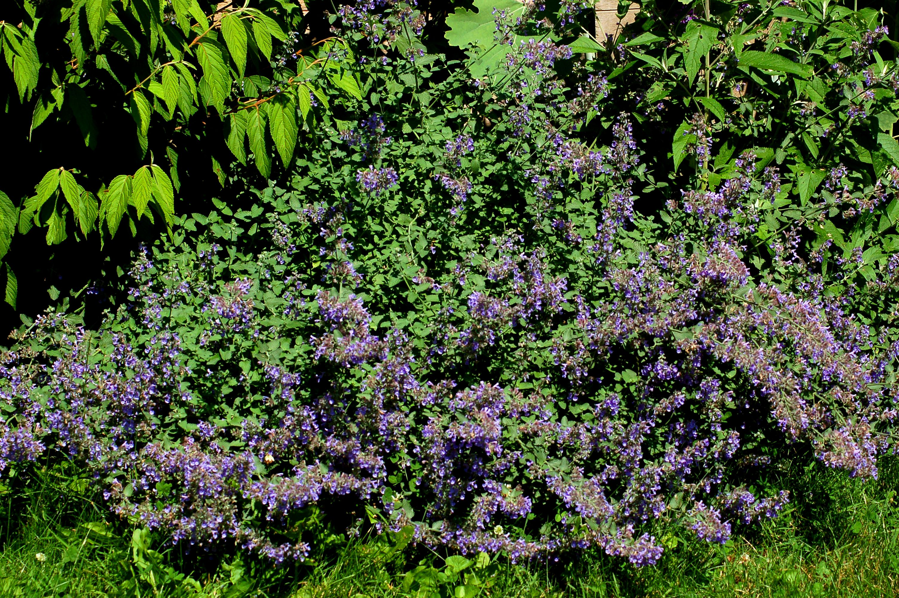 Catmint Flowering Ground Cover