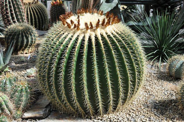 Growing Golden Barrel Cactus Echinocactus Indoors