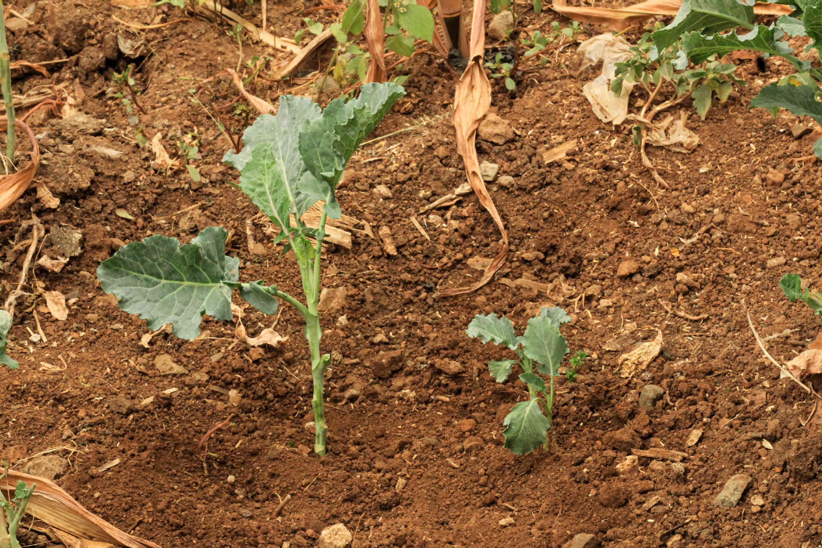 Same vegetable plants in soil at different maturity levels in vegetable garden