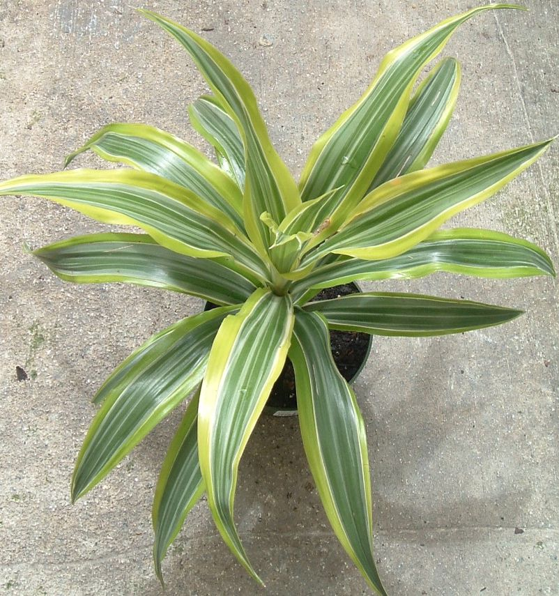 how to grow dracaena deremensis at home