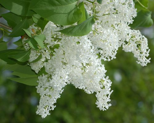 Photo of white lilacs. The flowers of lilacs are commonly white, purple, or lavender.