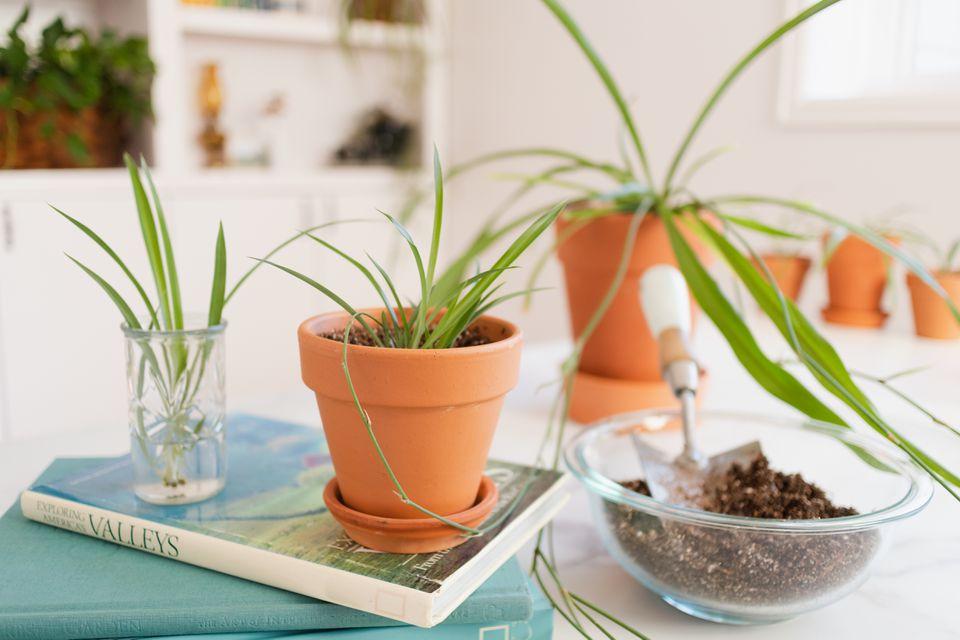 propagating spider plants