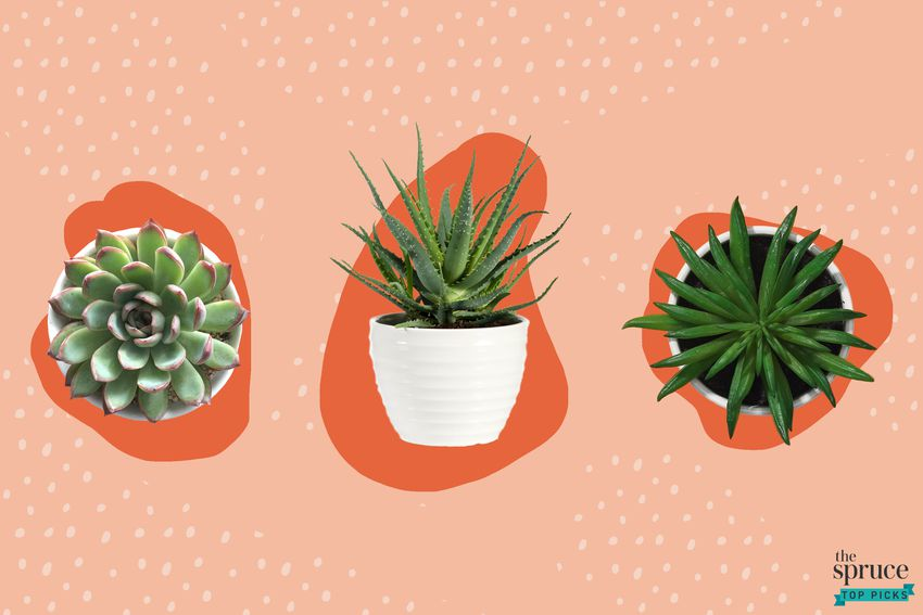 Photo composite of three succulents in planters over a peach background.