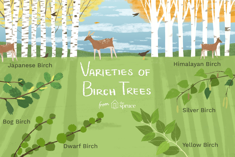 illustration of varieties of birch trees