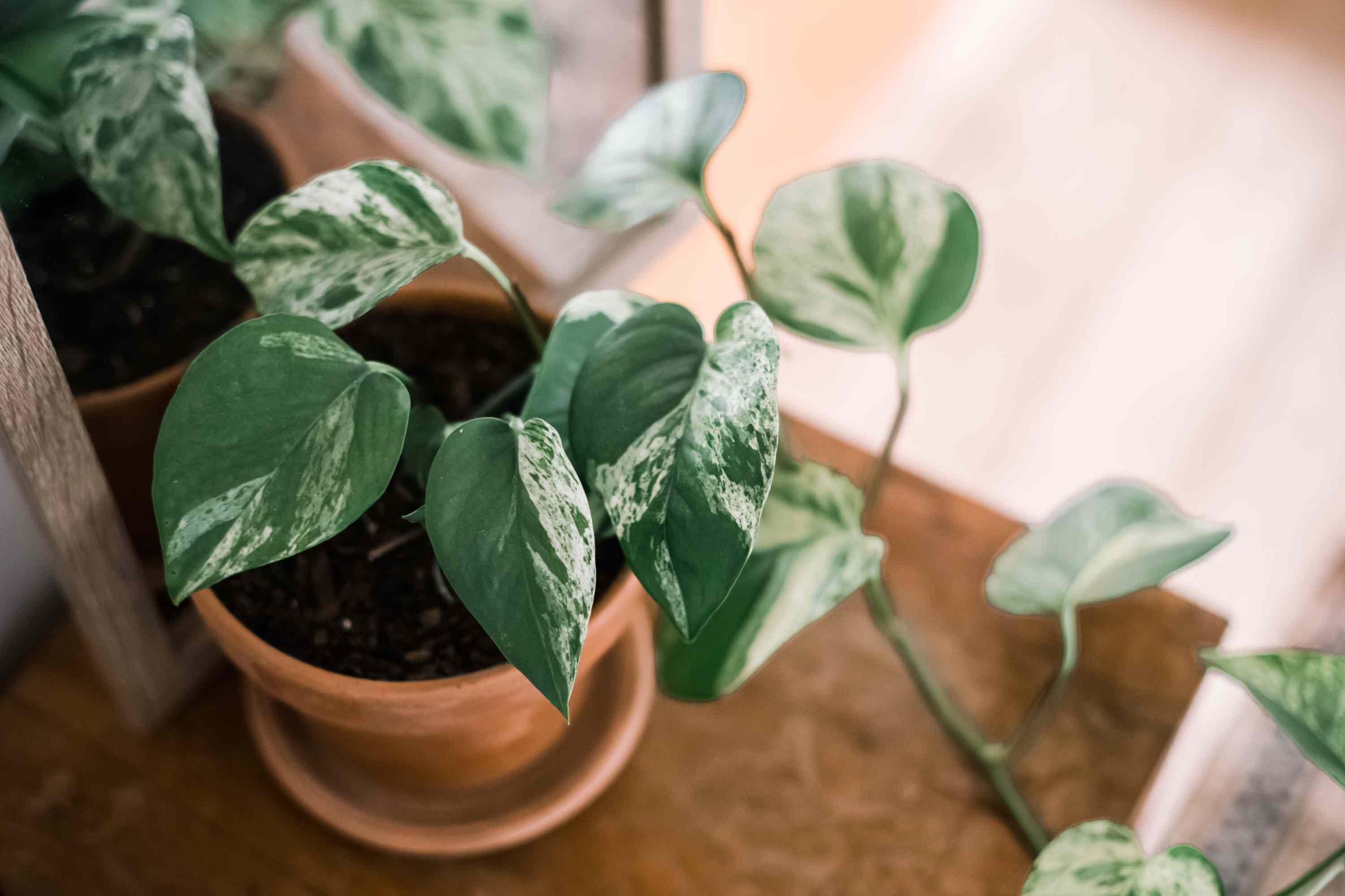 young pothos