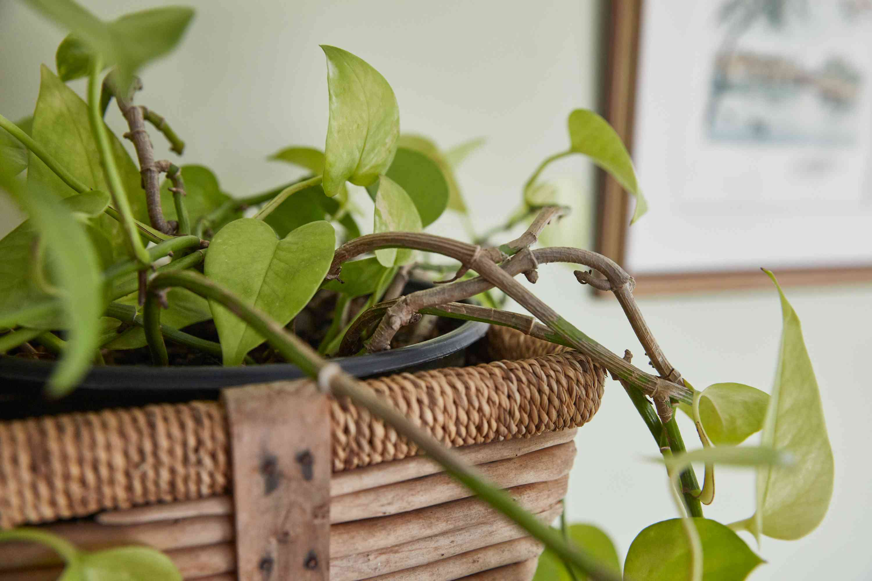 philodendron in a basket