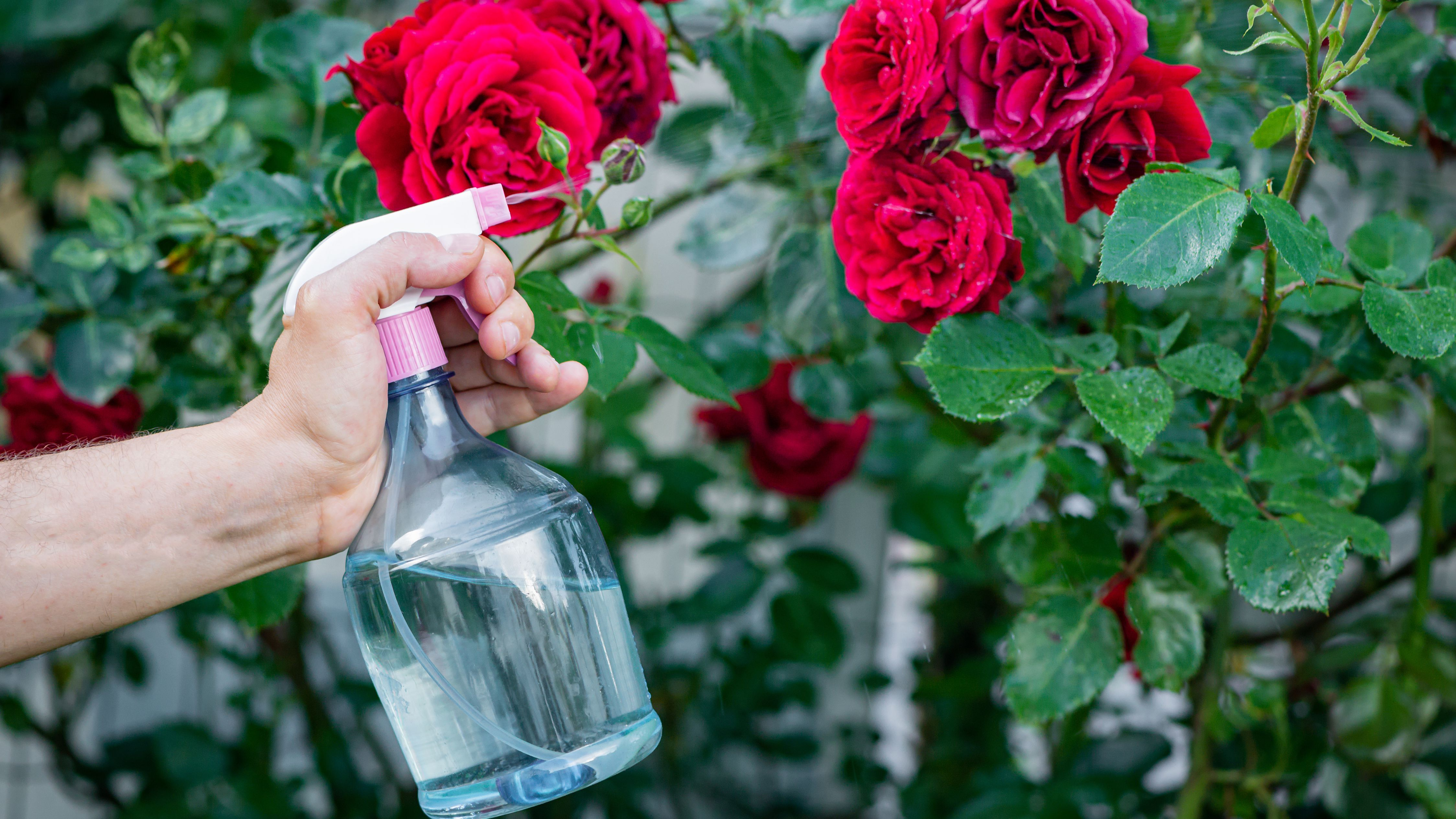 10 Common Rose Problems And How To Fix Them