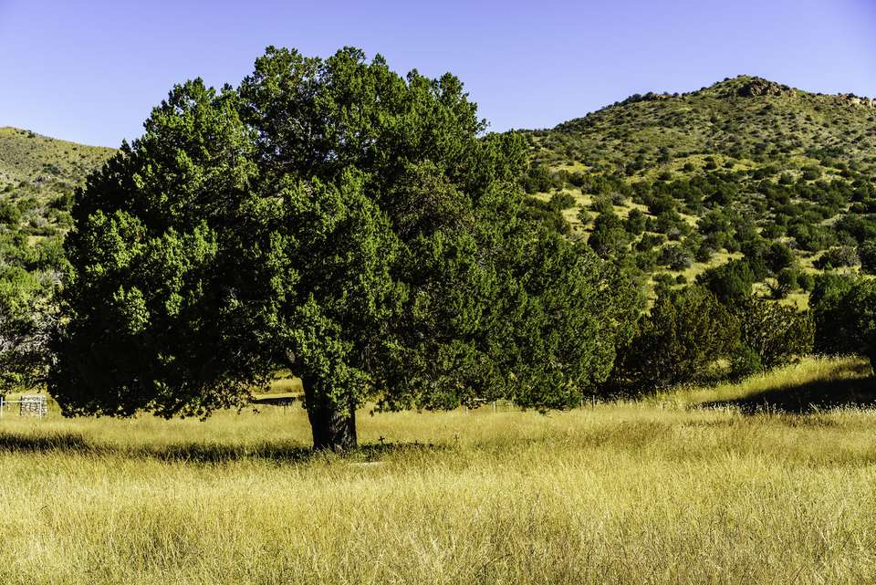 Alligator juniper tree in a field with rolling hills in the background.