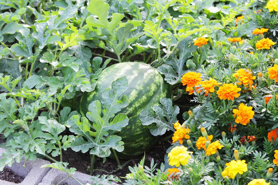 Watermelon and marigolds make good companions