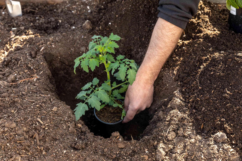 the deep hole method of tomato planting