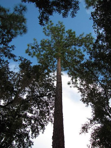 The longleaf pine is the state tree of Alabama