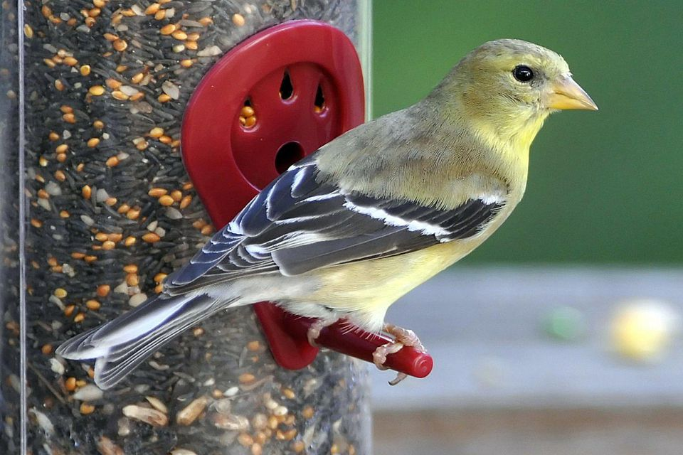 American goldfinch standing on a perch at the bird feeder.