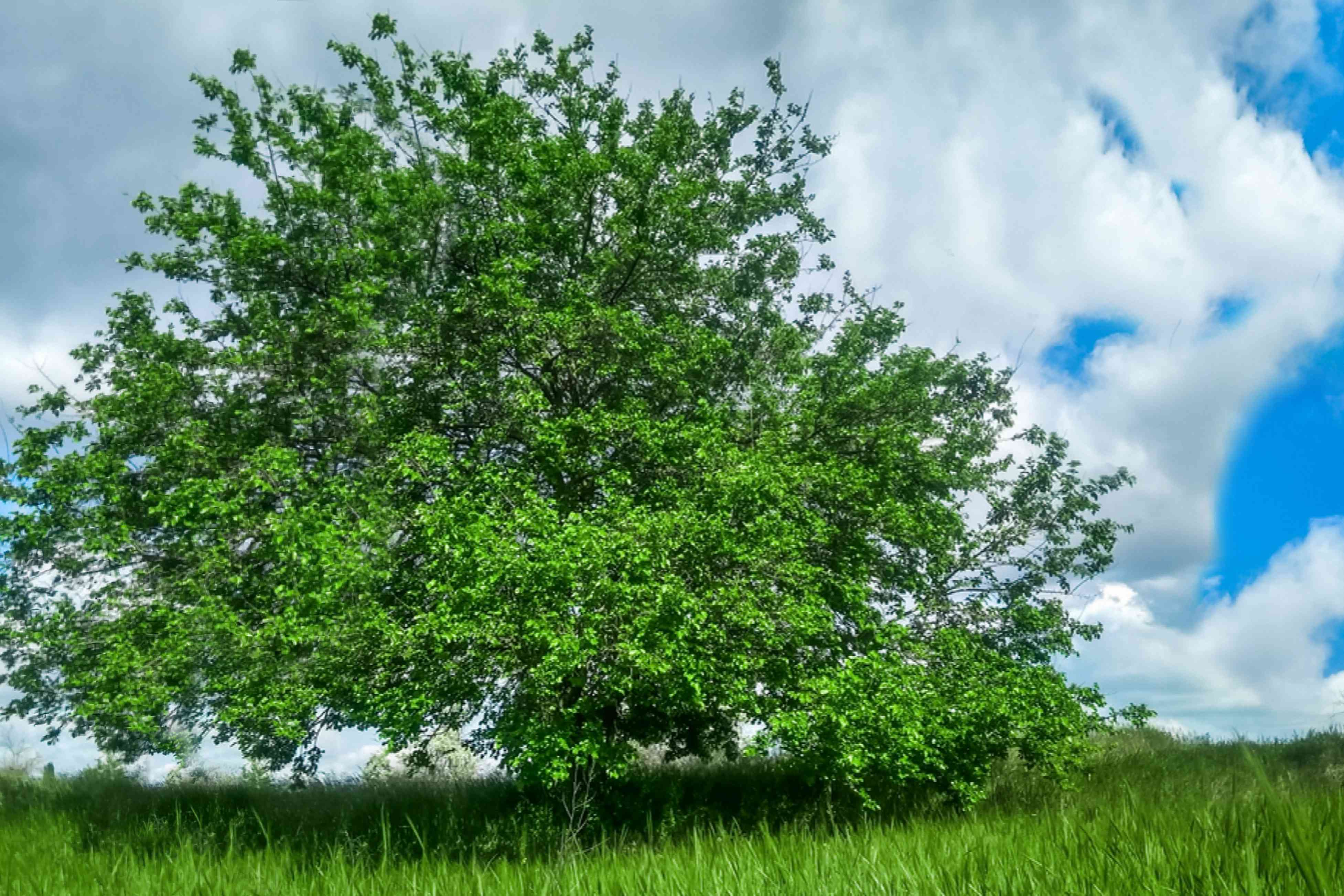 Mulberry tree with bright green leaves in middle of field