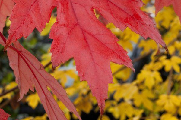Fall foliage color of Autumn Blaze maple tree.
