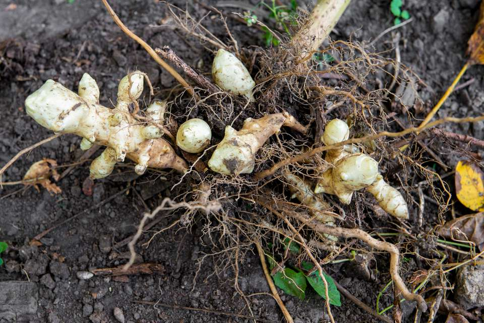 Jerusalem artichokes pulled from ground and resting on soil with roots exposed