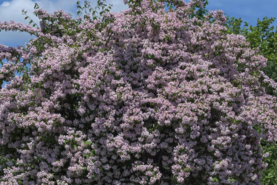 Large weigela shrub with arching branches.