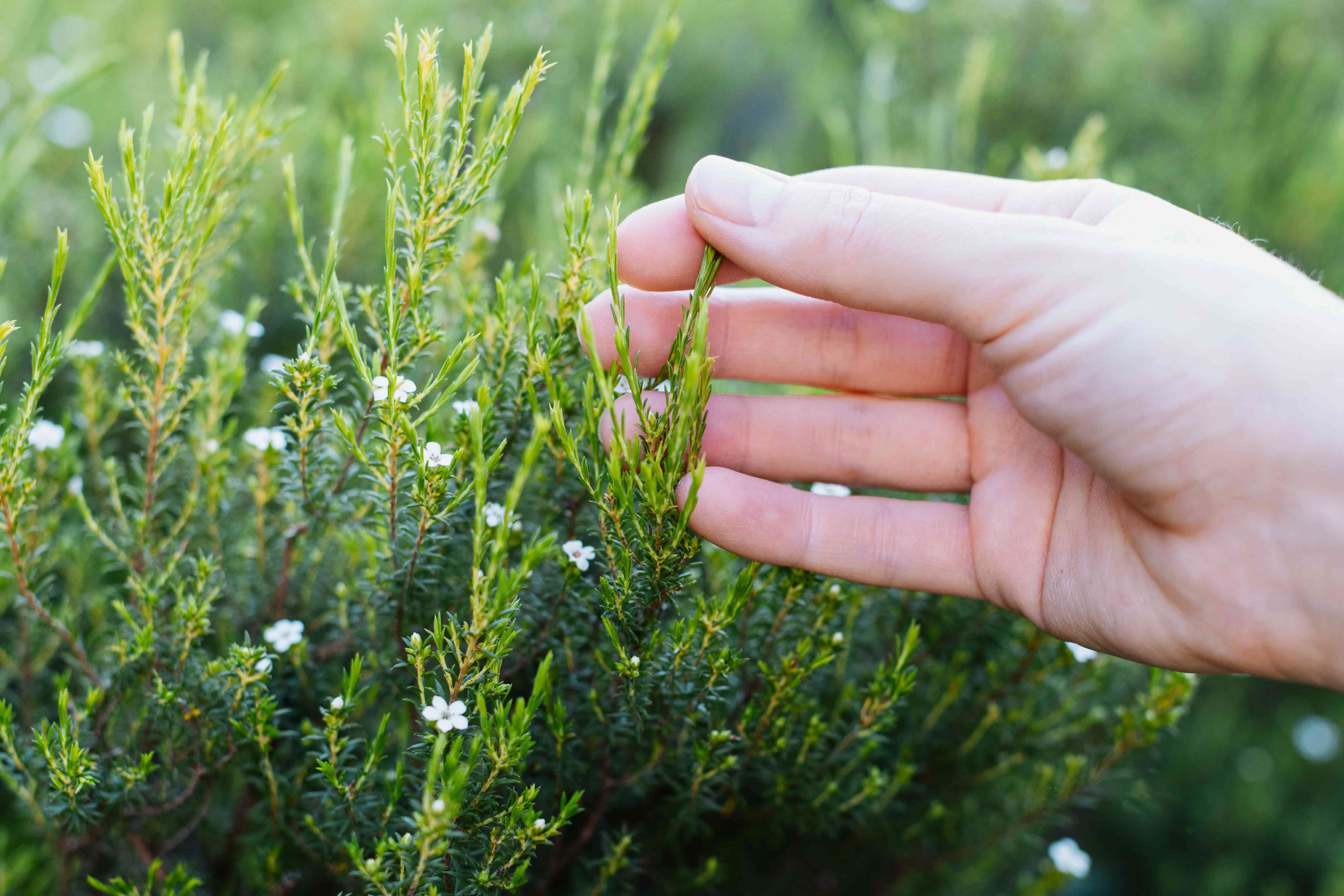 Hand holding evergreen shrub with broadleaf branch with buds and tiny white flowers closeup