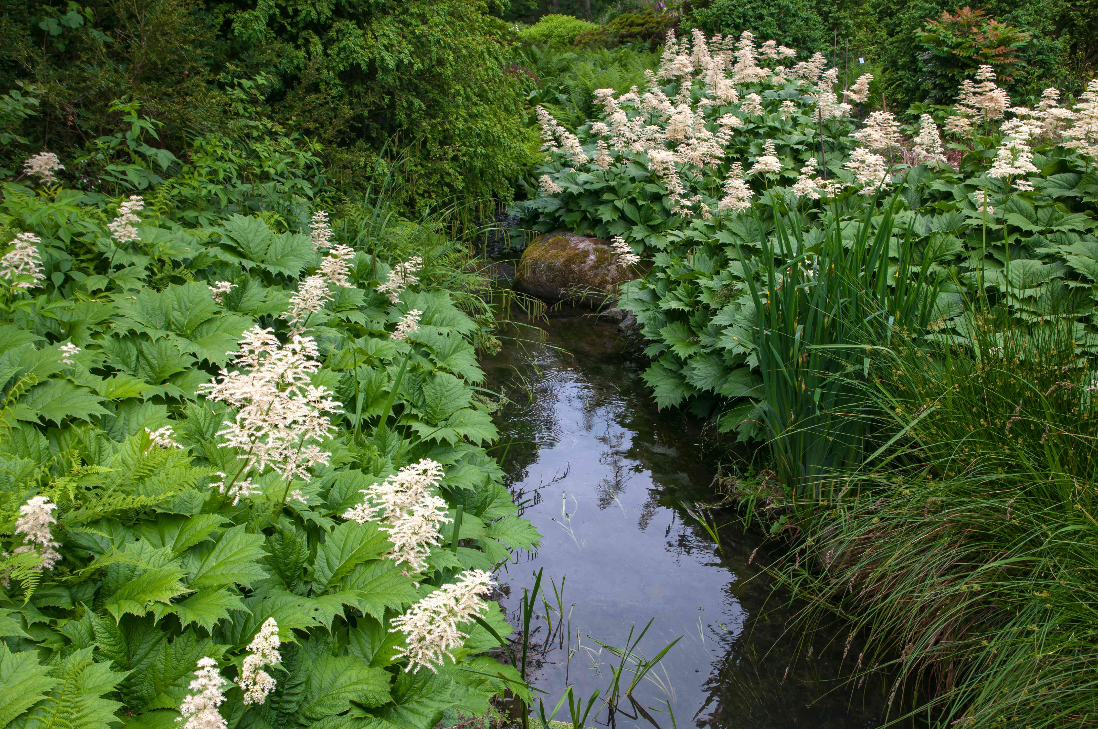 Rodgers flowers with light pink showy plumes and large leaves on either side of a stream