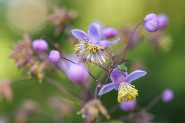 Meadow rue plant with small light purple flowers and buds on thin stems closeup