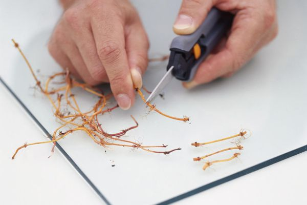 Using craft knife to divide sweet woodruff cuttings leaving two growing nodes on each length (propagating from root cuttings), close-up