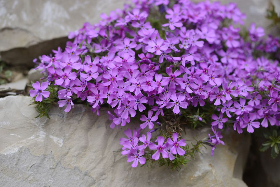 Close-up of Creeping Phlox (Phlox subulata) Blossoms in Stonewall in Spring, Bavaria, Germany