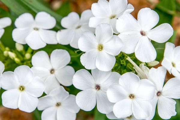 'David' garden phlox plant with small white flower clusters closeup