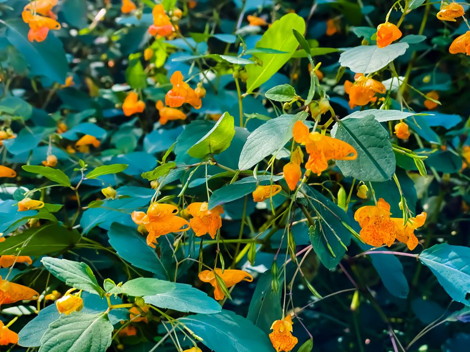 Jewelweed plants close up of yellow flowers and green foliage