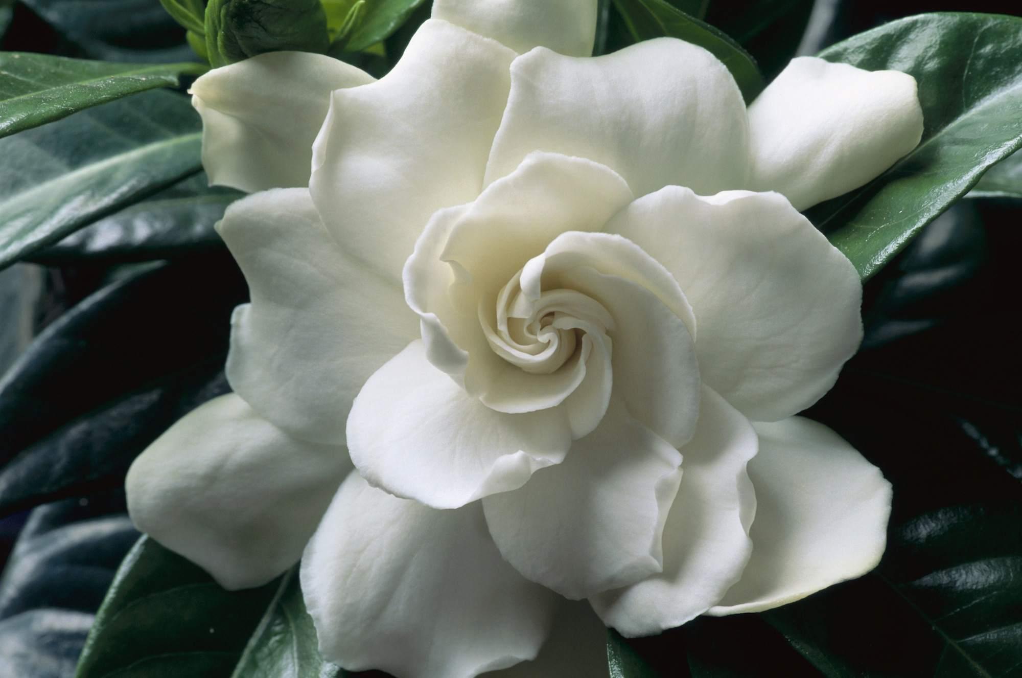 Augusta Gardenia