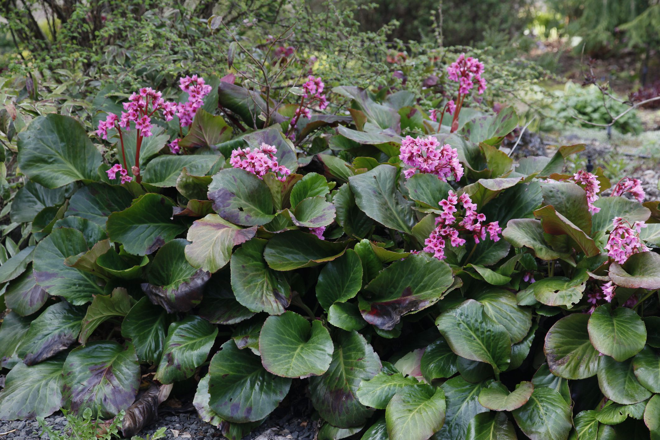 How To Grow And Care For Bergenia