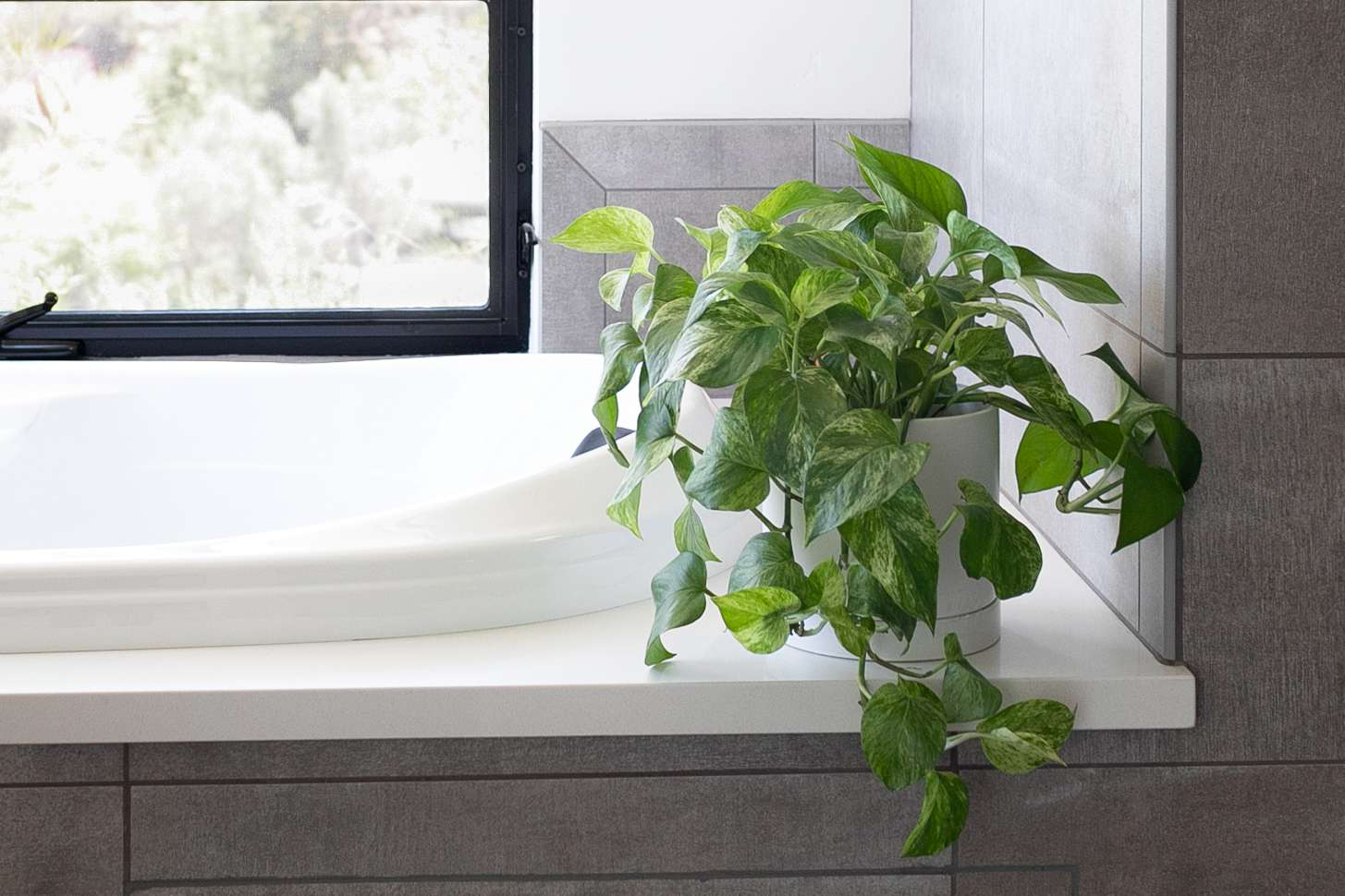 Houseplant with vines hanging over tub in guest bathroom