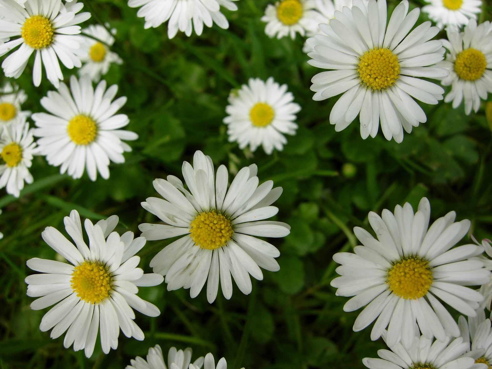 About a dozen white English daisy blooms.