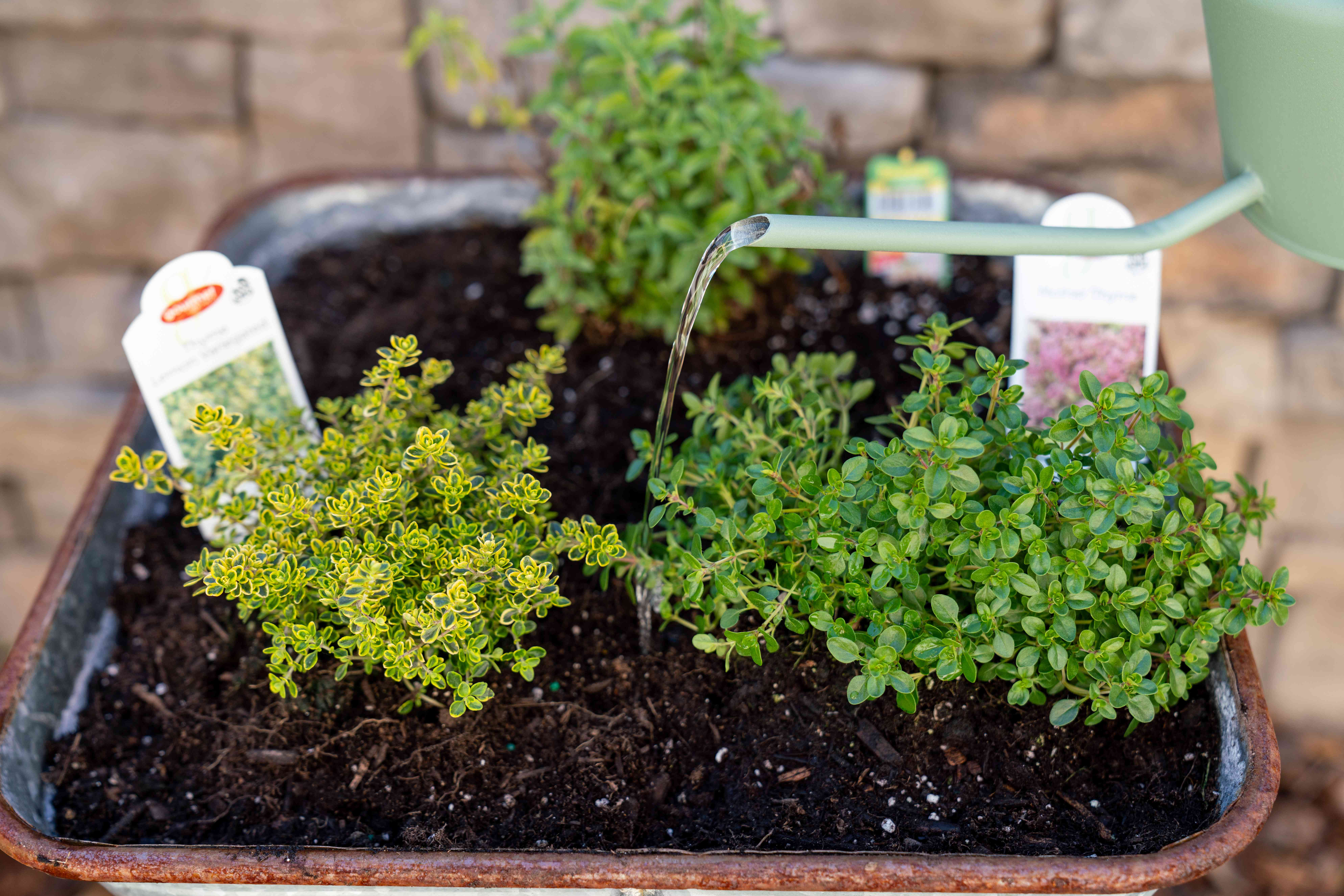 Thyme herb plants watered by green watering can