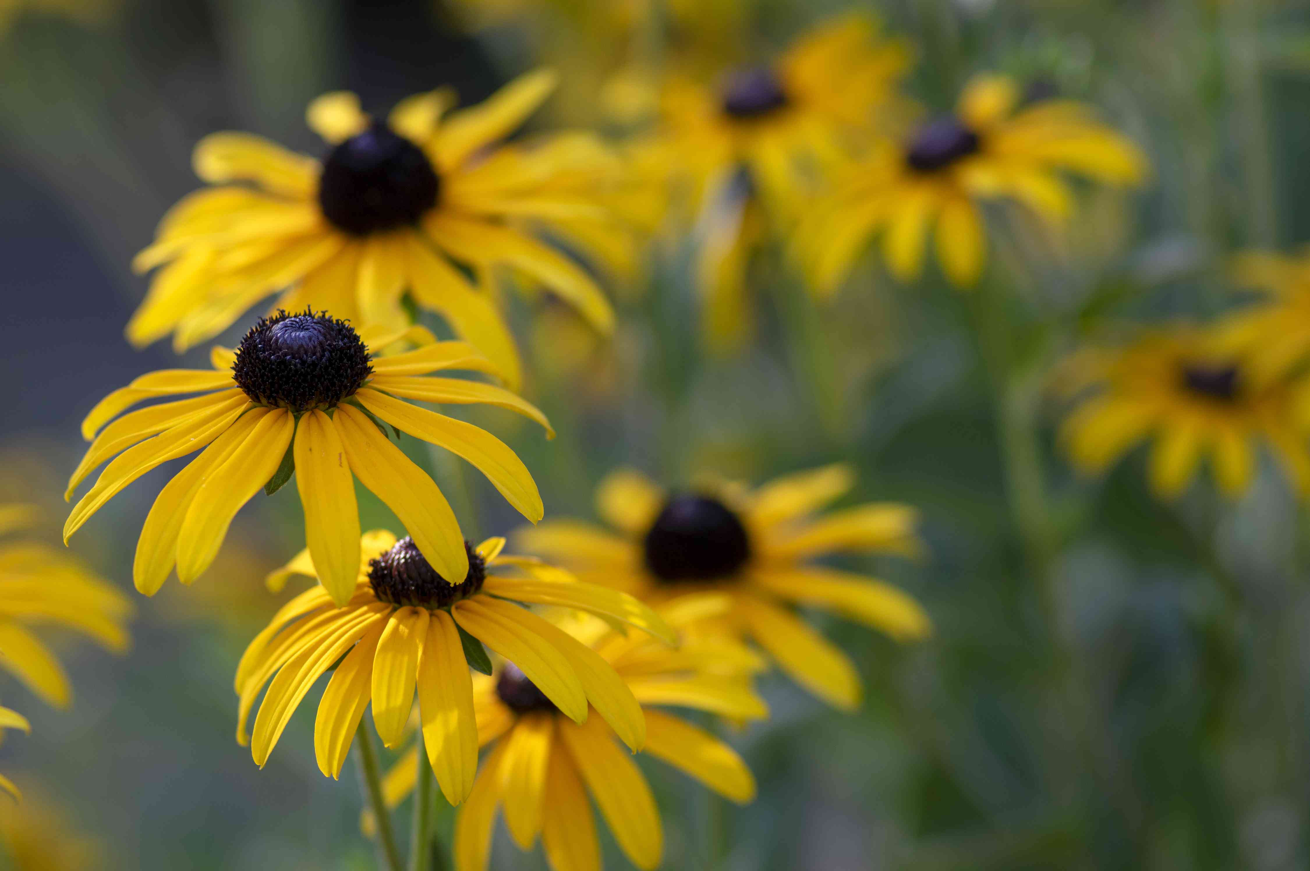 Rudbeckia hirta yellow flower with black brown centre in bloom, black eyed susan in the garden