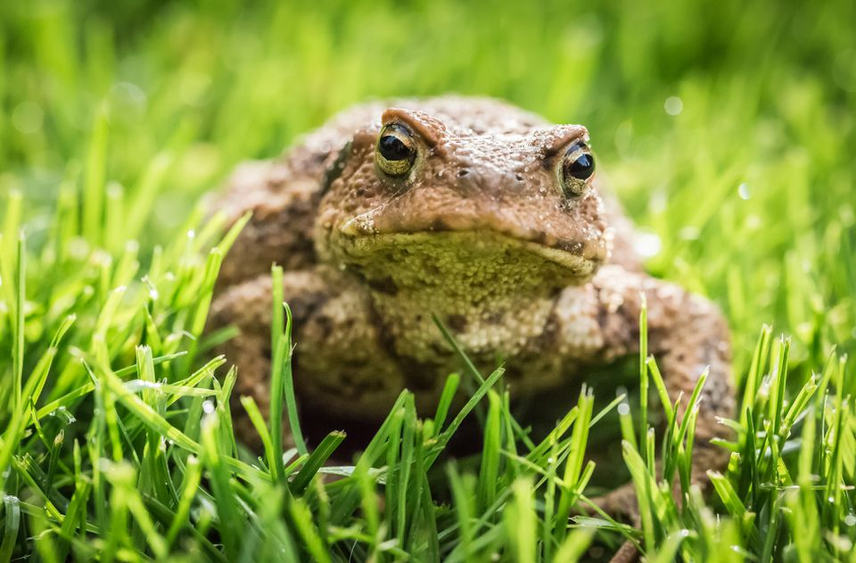 Toad sitting in Grass