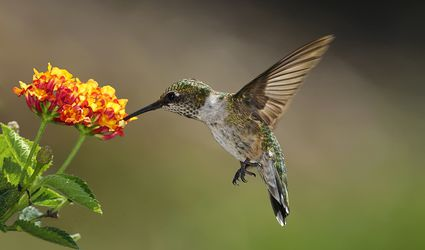 Hummingbird feeding at a lantana flower.
