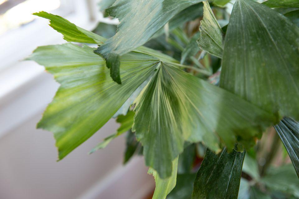 caryota palm closeup
