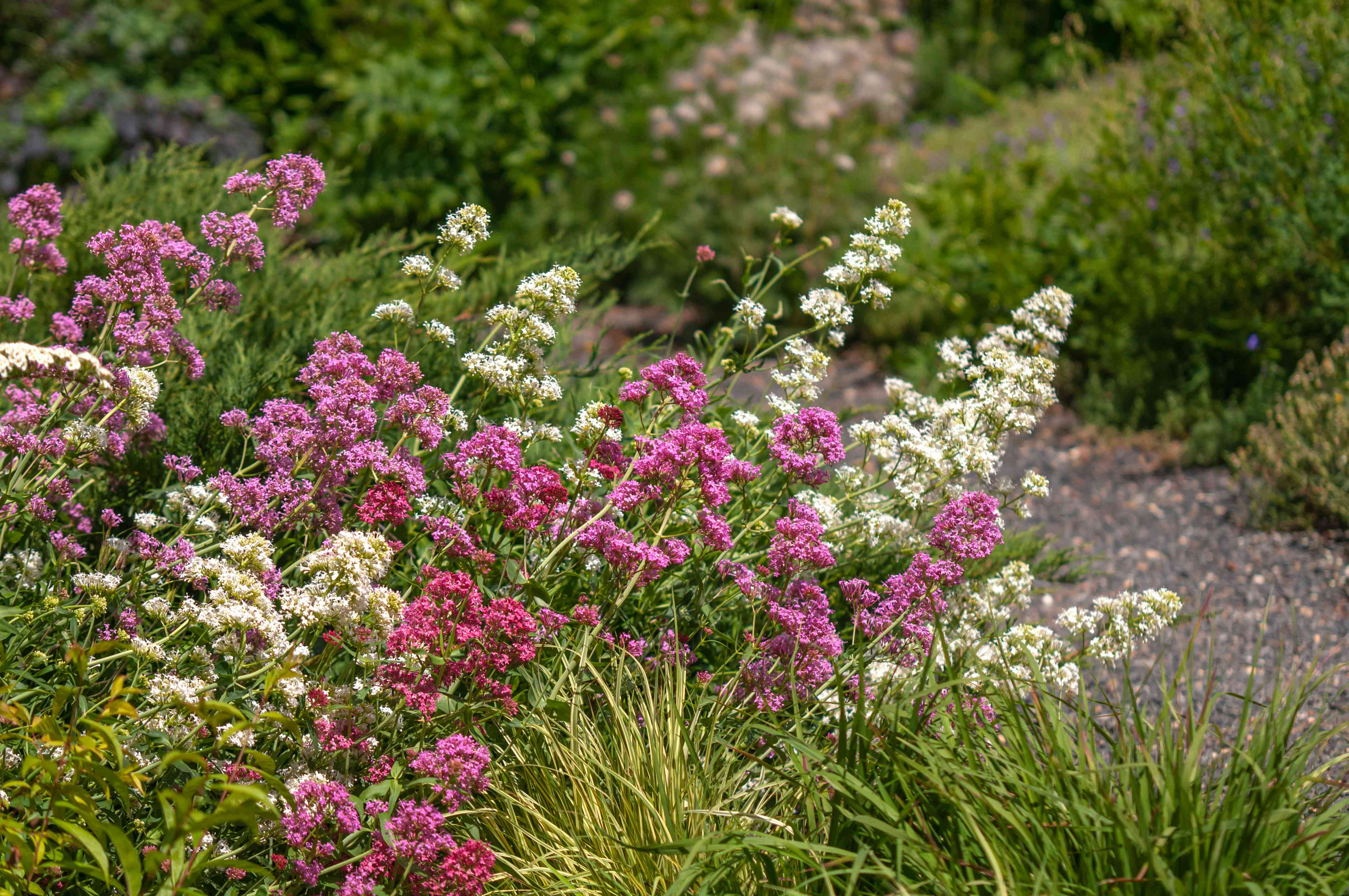 Red valerian with pink and white flowers leaning towards gravel edge