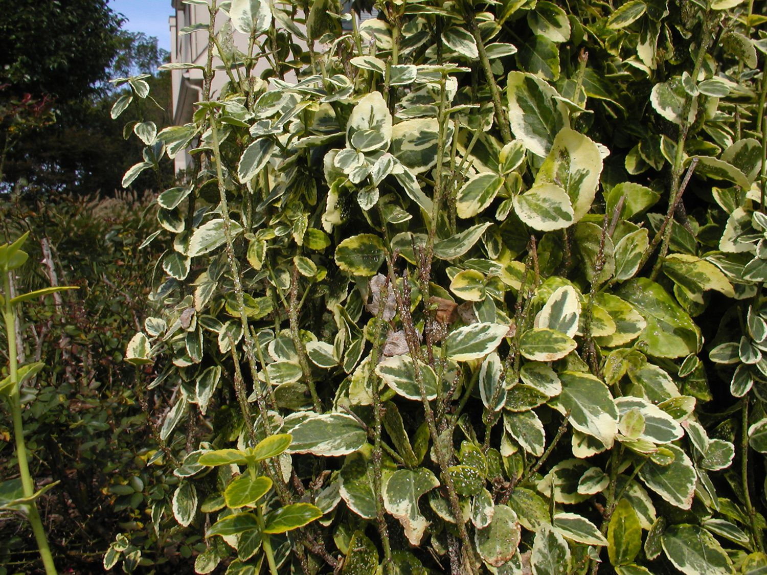 How To Get Rid Of Scale On Euonymus Shrubs