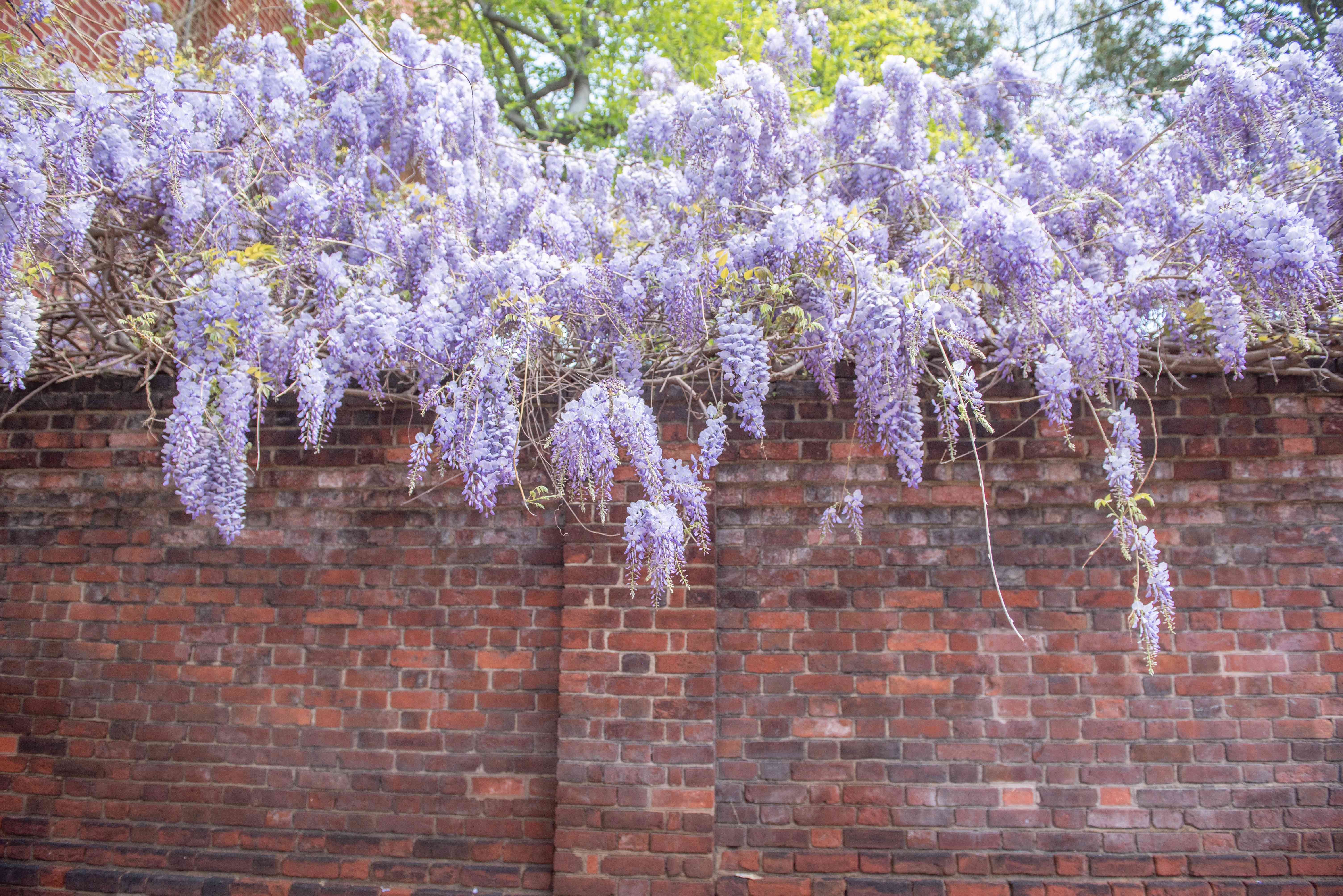 Chinese wisteria growing over a wall
