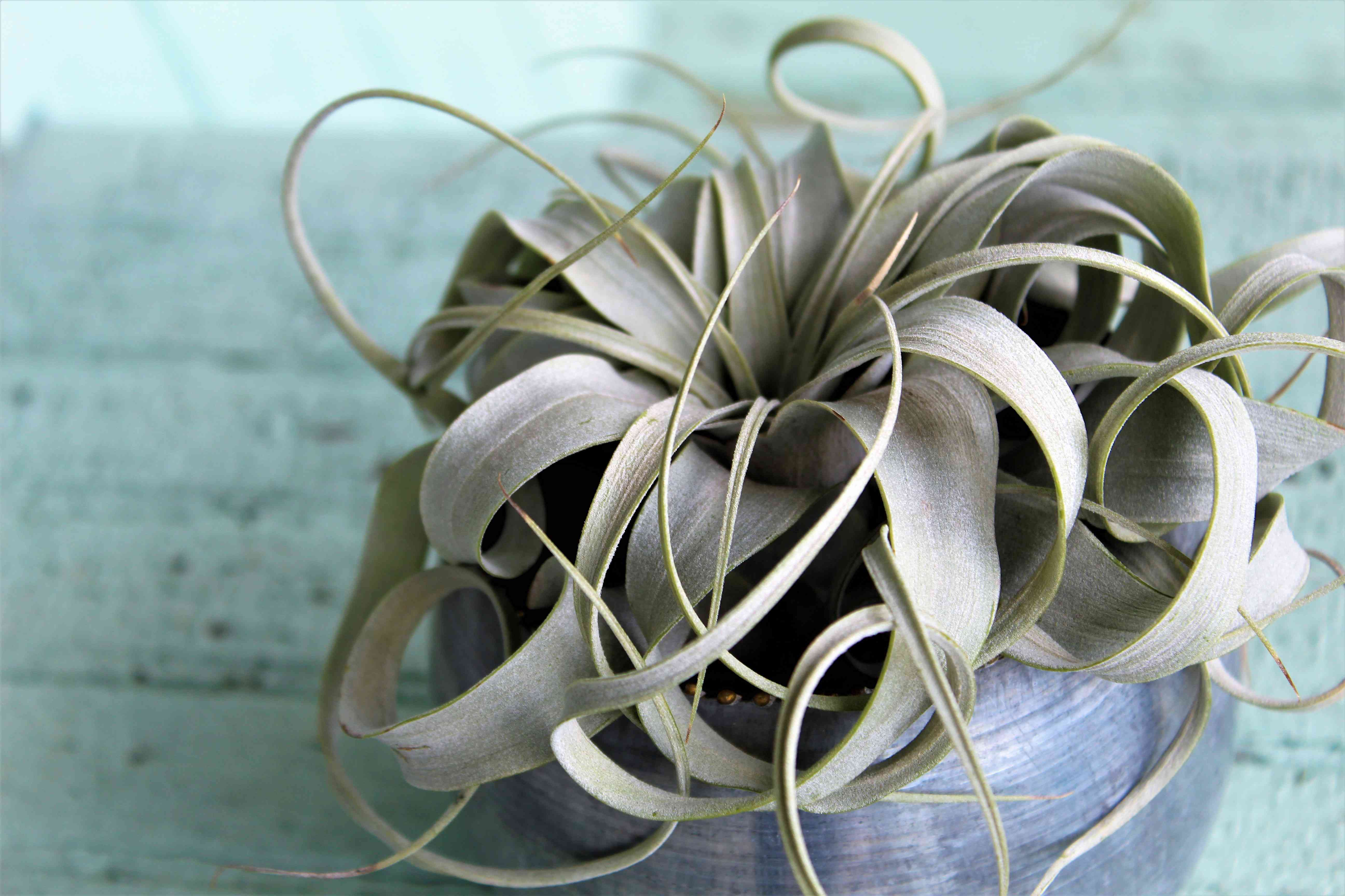 Xerographica air plant with curling silvery-green leaves
