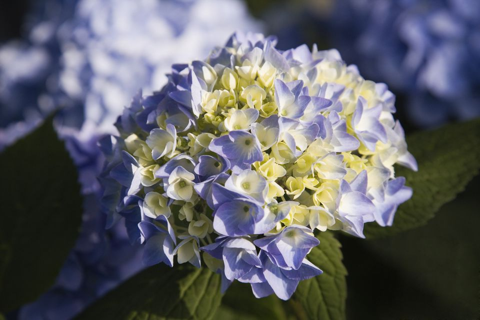 Close up shot of purple-blue Endless Summer Hydrangea (Hydrangea macrophylla bailmer)