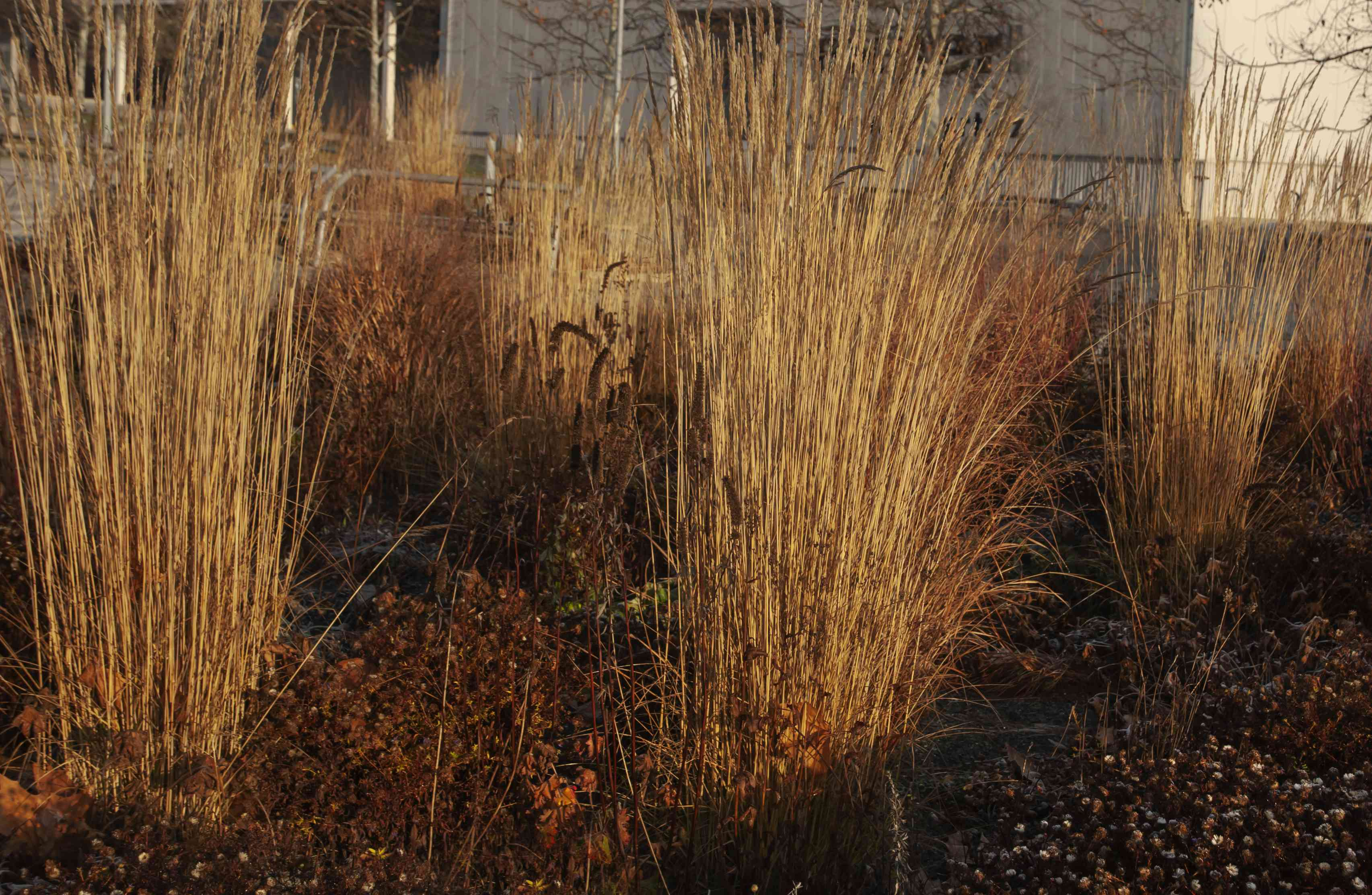 Feather reed grass stalks